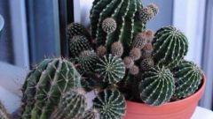 Как пересадить маленькие кактусы от большого
