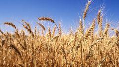 Как использовать раствор от ростков пшеницы