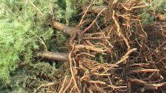 Какие корни у ели