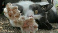 Как проходит процедура удаления когтей у кошки
