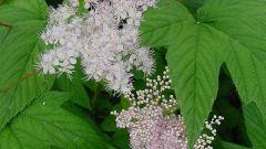 Таволга: применение и полезные свойства растения