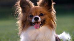 Течка у собак: что это такое и как она проходит