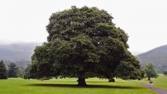 How many years can grow oak
