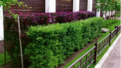 What plants can be used for hedges in Siberia