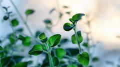 Какие лекарственные травы понижают давление
