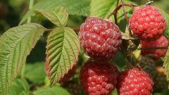 Сушеные листья малины: полезные свойства и противопоказания
