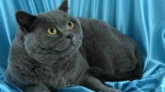 Как британские коты проявляют характер