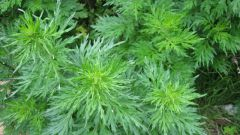 Grass ragweed: what it is and what harm it brings