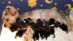 Роды у собак мелких пород: как помочь собаке