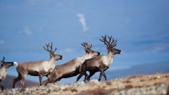 What medicine is prepared from the horns of the reindeer