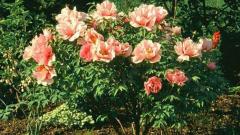 Гибискус садовый: как укрыть его на зиму