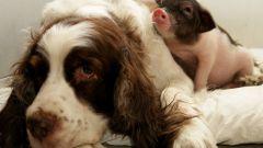 Восточный гороскоп совместимости: Свинья и Собака