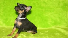 Puppies toy Terrier: nutrition and education
