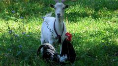 Восточный гороскоп совместимости: Петух и Коза