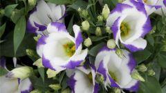 Цветок эустома: выращивание и уход в домашних условиях
