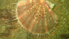 Что такое морские гребешки