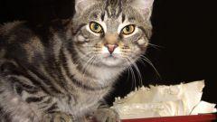 Короткошерстные породы кошек