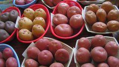 Как выбрать картофель на посадку