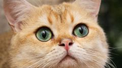 Что лучше: стерилизовать кошку или давать ей таблетки