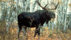 Чем питается лось