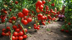 How often should I water the tomato seedlings in the greenhouse