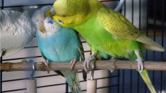 Letting the budgies out of the cage so they