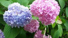 Гортензия садовая - посадка и уход