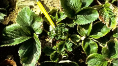 How to deal with the nematode of strawberries