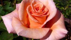 «Королева цветов» – роза чайно-гибридная. Посадка и уход