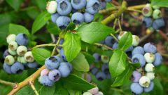Голубика садовая – посадка и уход на дачном участке