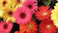 Гордая красавица гербера: выращивание из семян