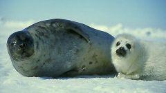 Кто такие нерпы и чем они отличаются от тюленей