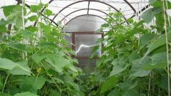 Correct formation of cucumbers in the greenhouse - the key to high yields