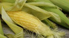 Кукурузные рыльца. Применение и противопоказания