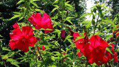 Гибискус садовый - красивое полезное растение