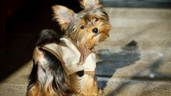 Yorkshire Terrier: the personality traits and behavior