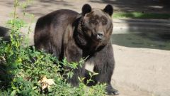 Берлога: как обустраивает медведь свое жилище