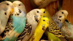 Самые распространенные болезни волнистых попугайчиков