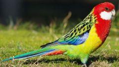 Попугай розелла: особенности выбора