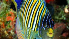 Кто такая рыба-ангел