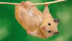 How long is pregnancy in hamsters