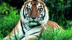 Восточный гороскоп: что ждет родившихся в год Тигра