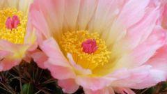 Какие кактусы часто цветут большими цветами