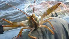 Ideas for business: breeding crayfish at home
