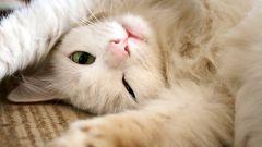 Вредна ли валерьянка для котов