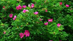 Как заставить быстрее расти шиповник для живой изгороди