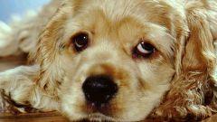 Как применять цестал для собак