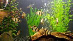 Барбусы: размножение в домашних условиях