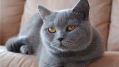 Кошка шартрез: особенности породы