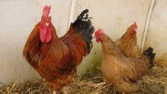 Какие породы куриц-несушек разводят в России